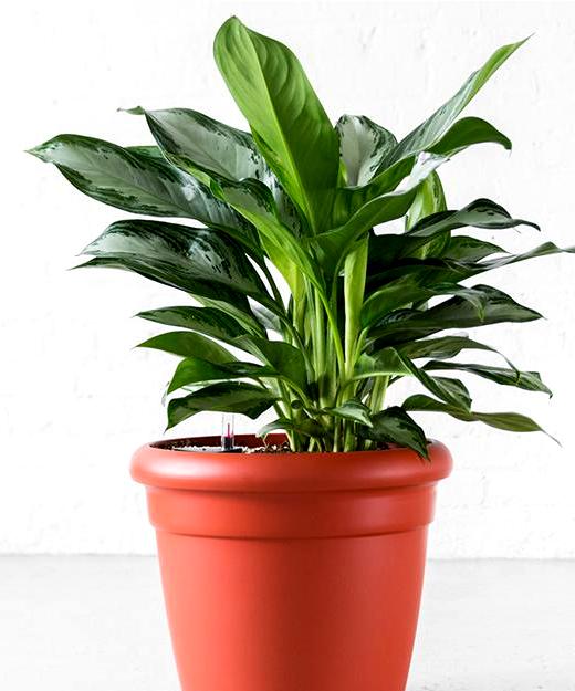 Aglaonema-Plant.png