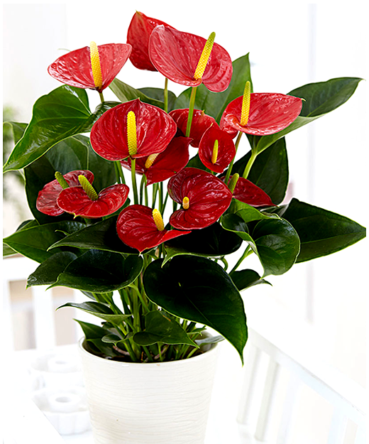 Anthuriums.png