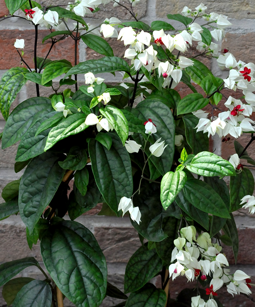 CLERODENDRUM-THOMSONIAE.png