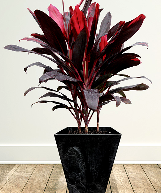 Cordyline.png